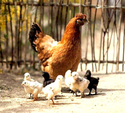 poultry feed supplements mumbai india